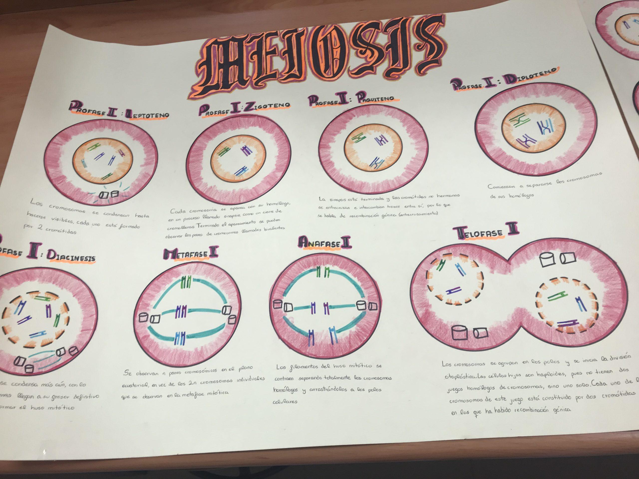 La meiosis (alumnos de 4º de la ESO del Colegio Filipense Blanca de Castilla de Palencia)